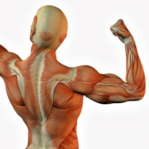 picture of muscles
